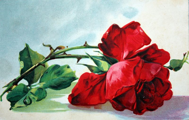 Mitzismiscellany_red_rose_postcard
